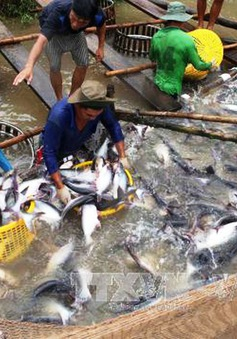 Sớm xây dựng hình ảnh và thương hiệu cá tra Việt Nam