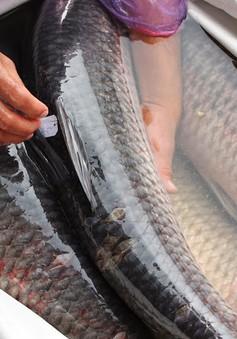 Sử dụng mật cá trắm có tốt cho sức khoẻ?