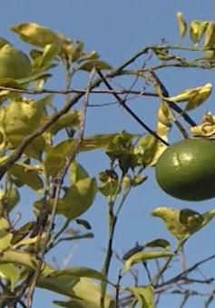 Tiêm thuốc trị bệnh vàng lá, vườn cam chết hàng loạt