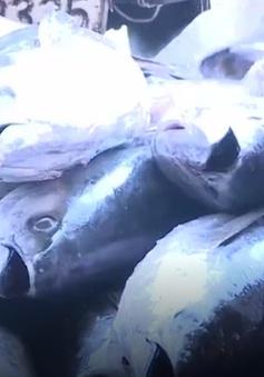 Chất lượng cá ngừ giảm sút vì chuyến biển kéo dài
