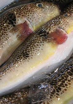 6 người bị ngộ độc do ăn cá nóc