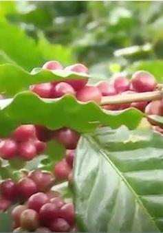 Quảng Trị: Cà phê chè Khe Sanh được bảo hộ nhãn hiệu