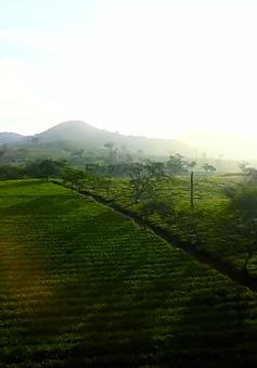 VTVTrip: Thưởng trà Shan Tuyết ở vùng núi Yên Bái