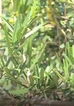 Khánh Hòa nhân giống và bảo tồn xáo tam phân