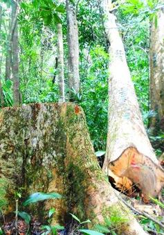 Sẽ khởi tố vụ phá rừng ở Bình Định