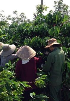 Đăk Nông: Tái canh cây cà phê gặp nhiều khó khăn