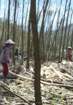 Hà Tĩnh: Giúp dân tiêu thụ cây bị đổ gãy sau bão số 10
