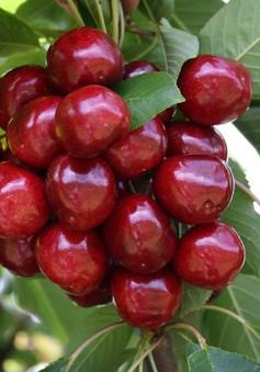 Nông dân làm giàu nhờ trồng cherry gắn với du lịch ở Trung Quốc