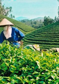 Việt Nam tăng cường xuất khẩu chè sang Mỹ