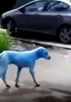 Những chú chó màu xanh gây xôn xao dư luận ở Ấn Độ