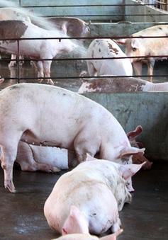 Kinh nghiệm chống nóng cho vật nuôi hiệu quả