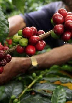 Ngành trồng cà phê góp phần giải quyết nạn nghèo đói tại Ghana