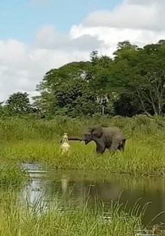 Ngỡ xơi tái được voi, cá sấu bất ngờ nhận trái đắng
