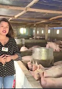 Các trang trại nuôi lợn sống sao trước khủng hoảng giá?
