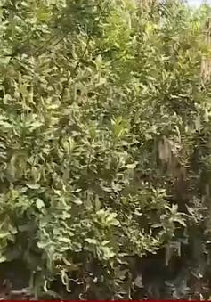 Đắk Lắk tạm dừng quy hoạch cây mắc-ca