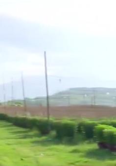 Nông dân Khánh Hòa nỗ lực khôi phục vụ hoa cúc Tết