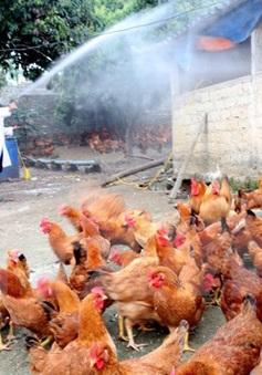 Đã khống chế ổ dịch cúm gia cầm ở Hậu Giang