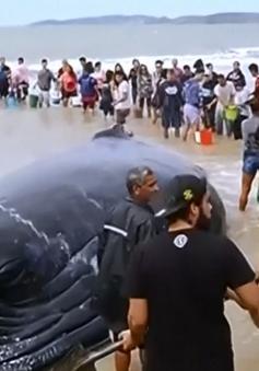 Người dân Brazil giải cứu cá voi 15 tấn mắc cạn