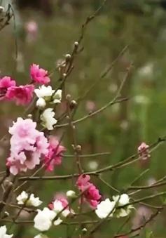 Độc đáo hoa đào 3 trong 1