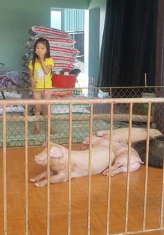 Hưng Yên: Nghịch lý lợn, gà đổi chỗ ở cho chủ
