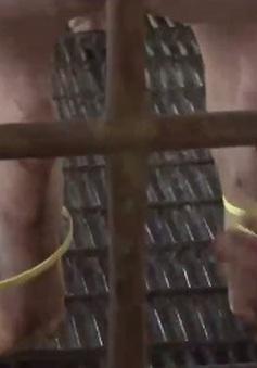 Vướng mắc khi đeo vòng truy xuất nguồn gốc cho lợn