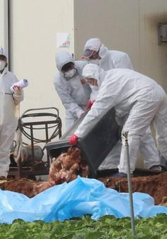 Cúm gia cầm vẫn hoành hành tại Hàn Quốc và Nga