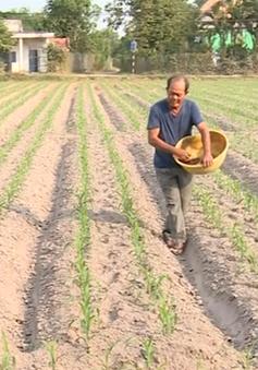 Không cạnh tranh về giá, diện tích trồng bắp giảm mạnh