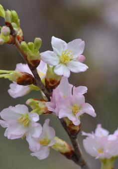 Hàng trăm cây hoa anh đào đã sẵn sàng khoe sắc tại vườn hoa Lý Thái Tổ