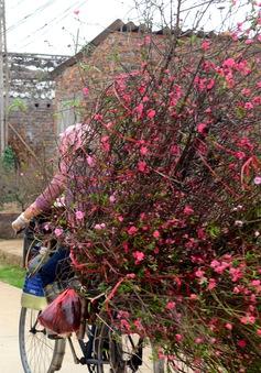 Đào Nhật Tân nở rộ, người trồng phải cắt đào bán với giá rẻ