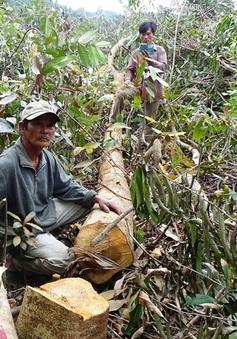 PTTg yêu cầu Phú Yên báo cáo việc phá rừng để nuôi bò trước ngày 20/4
