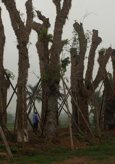 105 cây xanh di dời trên phố Kim Mã đạt tỷ lệ sống hơn 90%