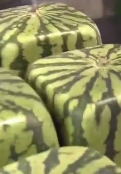 Kỳ lạ những quả dưa hấu vuông tại Nhật Bản