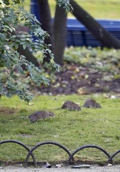 Công nhân môi trường Paris đình công vì... chuột
