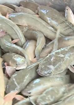 Giá cá lóc giảm mạnh, người nuôi lỗ nặng