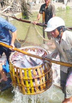 Giá cá tra tại ĐBSCL tăng kỷ lục