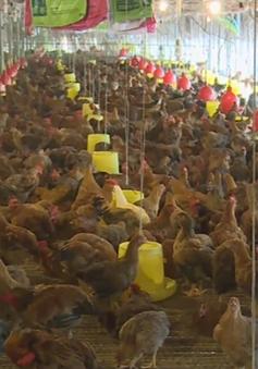 Giá gà giảm thấp nhất 10 năm qua