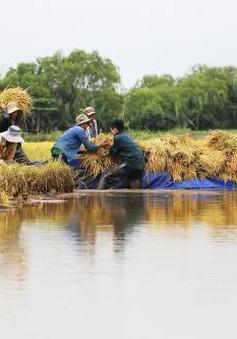 Giá lúa khu vực ĐBSCL duy trì ở mức cao