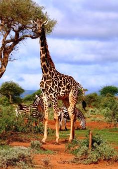 Những người hùng của hươu cao cổ tại châu Phi