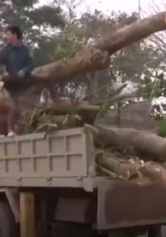 Lợi dụng công văn để vận chuyển gỗ trái phép