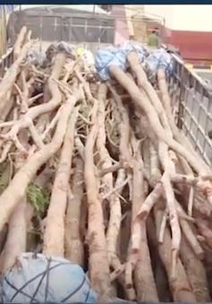 Đăk Lăk: Bắt hơn 10m3 gỗ giáng hương lậu