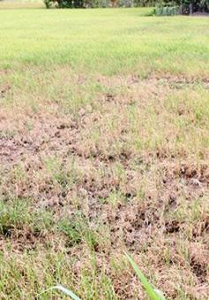 Quảng Ngãi: Nguy cơ mất trắng vụ lúa do hạn hán