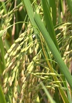 Liên kết sản xuất, tiêu thụ hạt giống lúa xác nhận