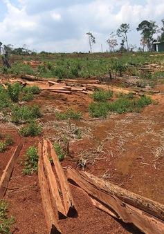 Phát hiện thêm vụ phá rừng phòng hộ quy mô lớn để trồng keo lai tại Bình Định