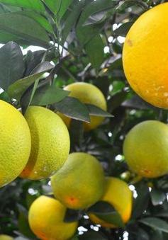 Hé lộ quy trình trồng cam Vinh