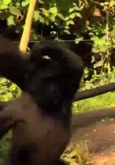 Cô khỉ múa ballet tại vườn thú của Mỹ