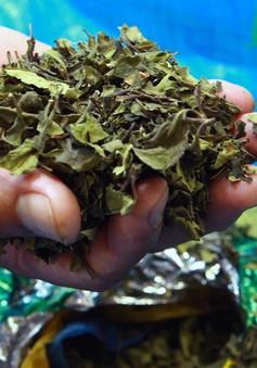 Hải Phòng tiêu hủy gần 6 tấn lá khát nguy hại hơn ma túy
