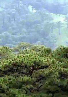Lâm Đồng cho phép khai thác trắng 750ha rừng trồng - Có đáng lo ngại?