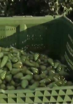 Nông dân châu Âu vào mùa thu hoạch lê, táo