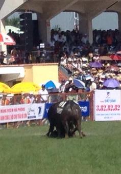 Lễ hội chọi trâu Đồ Sơn 2017 vẫn gặp sự cố