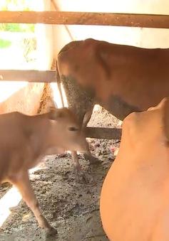 Hà Tĩnh: Xuất hiện dịch lở mồm long móng trên đàn gia súc